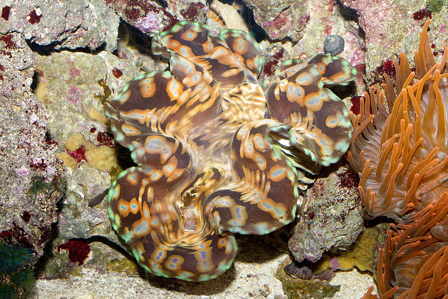 Tridacna gigas, the Giant Clam