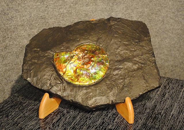 fossil ammonite - ammolite Korite