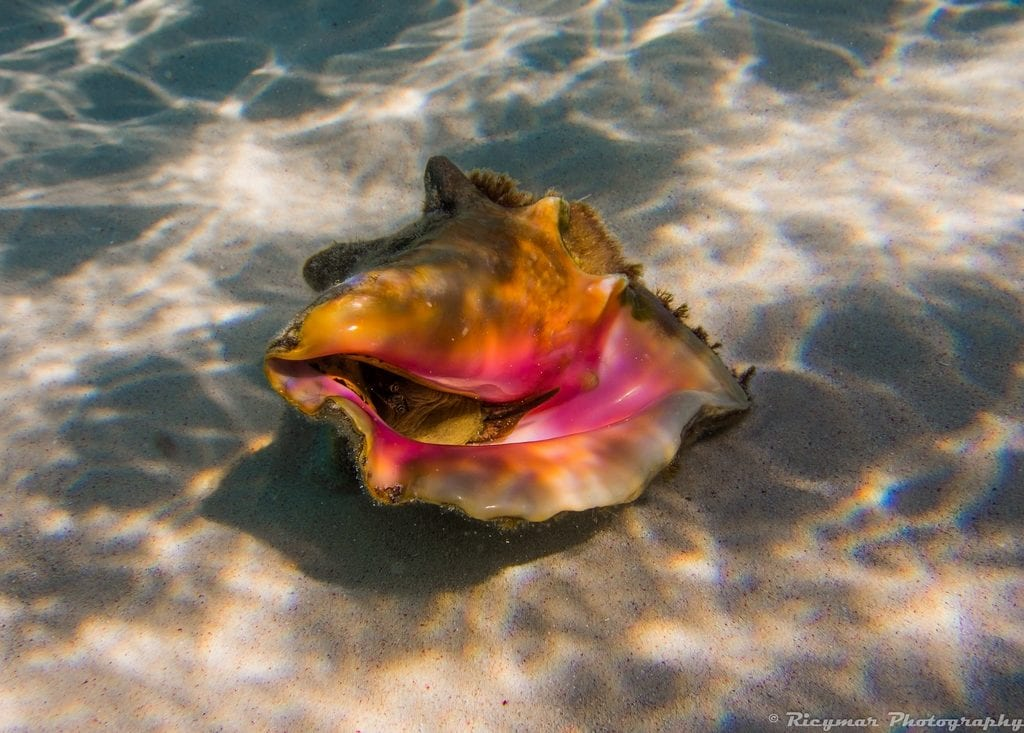 conch pearl buying guide - live conch